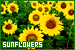 Plants/Flowers/Herbs: Sunflowers